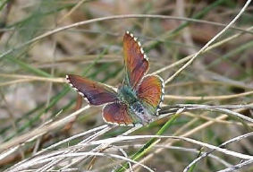 Purple Copperwing Butterfly